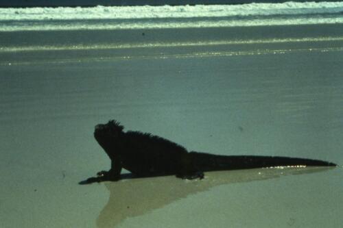 Iguana-di-mare