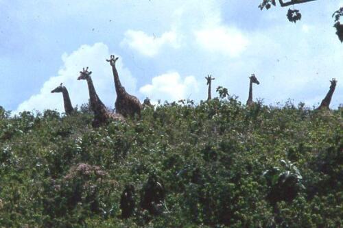 le giraffe sono sempre curiose