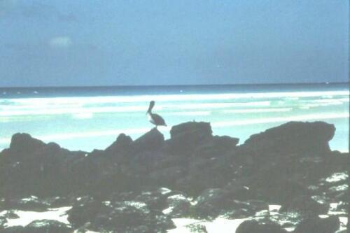 galapagos-.-Pellicano